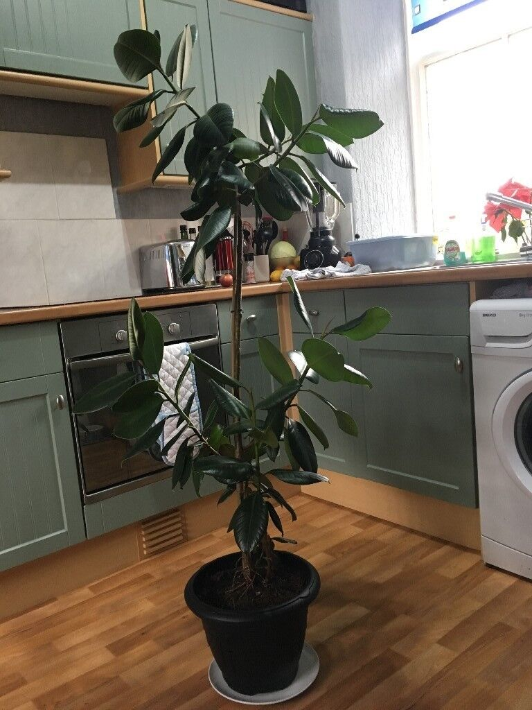 large rubber plant ficus elastica 39 robusta 39 in huntly aberdeenshire gumtree. Black Bedroom Furniture Sets. Home Design Ideas