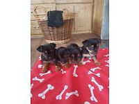 Yorshire terrior/jack russel puppys 8weeks old pups