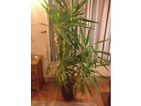 Large Yucca Plant in pot 3 Strong stems Suit office or shop etc