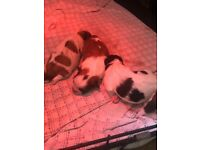 Shitzu cross puppies for sale