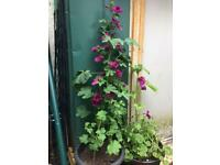 Tree mallow plants