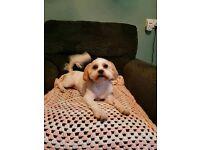 Maltese cross Shih Tzu puppy