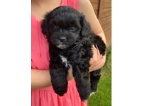 Quality*reduced* vet checked Shihpoo puppies ready to go