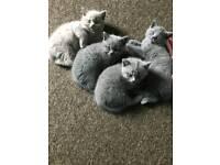 3 wonderful British kittens