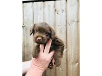 Chocolate Patterdale pups