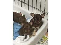 Chocolate Chihuahua pup