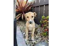 Lurcher pups/ irish terrier cross