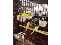 7 BEAUTIFUL COLOURED YOUNG BUDGIES WITH BIG CAGE