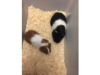 Guinea pigs for sale, 2 females, brown and white 3 months old, black and white 11 months.