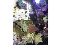 Coral frag for mrine reef fish tank aquarium