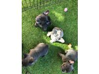 Frenchie puppy's ready for there homes on 8th March.
