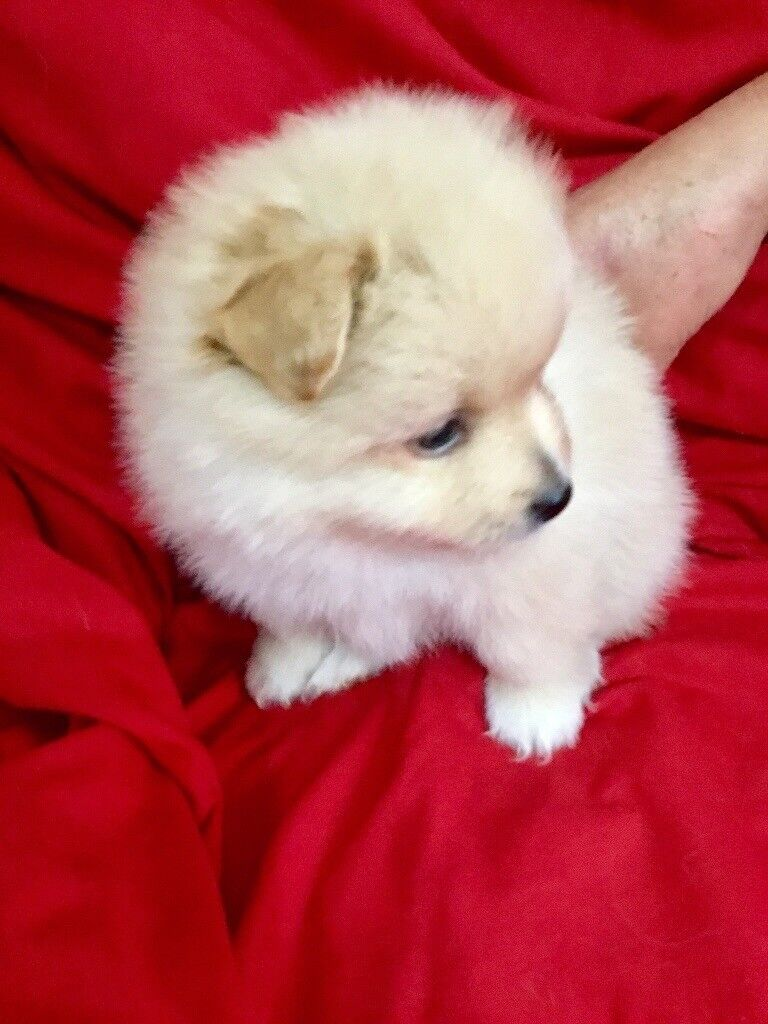 1 Very Handsome Male Pomeranian For Sale