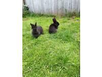 2 female lions head rabbit