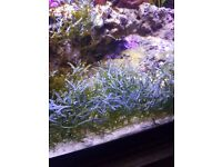 Macro algee sump tank marine