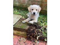 Golden Retriever Puppy (12 weeks old)
