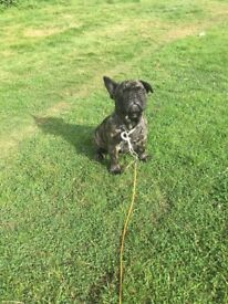 17 week old KC reg French Bulldog Puppy In Need Of Rehoming