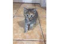 Beautiful Maine coon cross kittens for sale