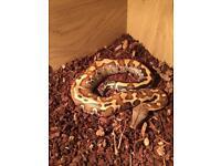 Cb17 blood python
