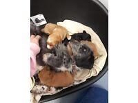 Three terripoo puppies