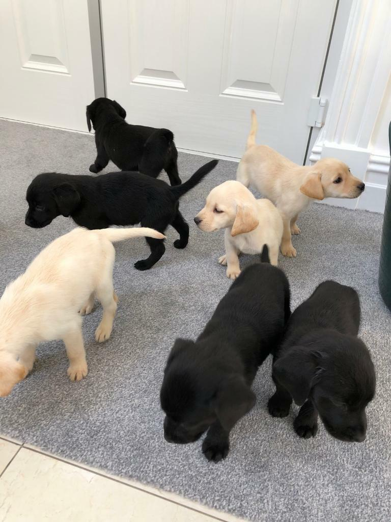 KC Labrador puppies ready to go now ( silver gene carries ) | in Bolton,  Manchester | Gumtree