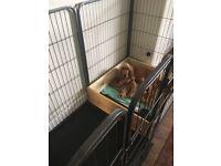 Pra/fn show cocker spaniel Puppys for sale