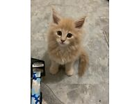 Maine coon in Scotland | Cats & Kittens for Sale - Gumtree