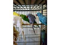 Indian ringneck parrot for sale