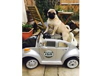Ted the pug