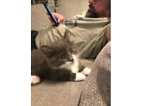 Two grey and white kittens for sale