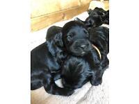 Adorable F1 Cockapoo puppies