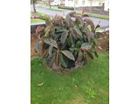 superb example of a large rubber tree plant kept in a 50 litre pot