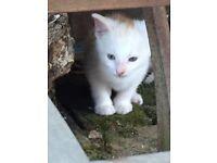 Cute white cream ginger kitten ready now
