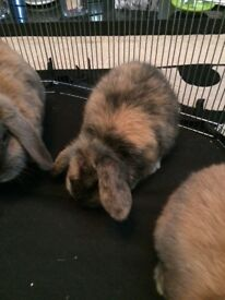 Harlequin mini lop kit ONLY ONE left (buck)