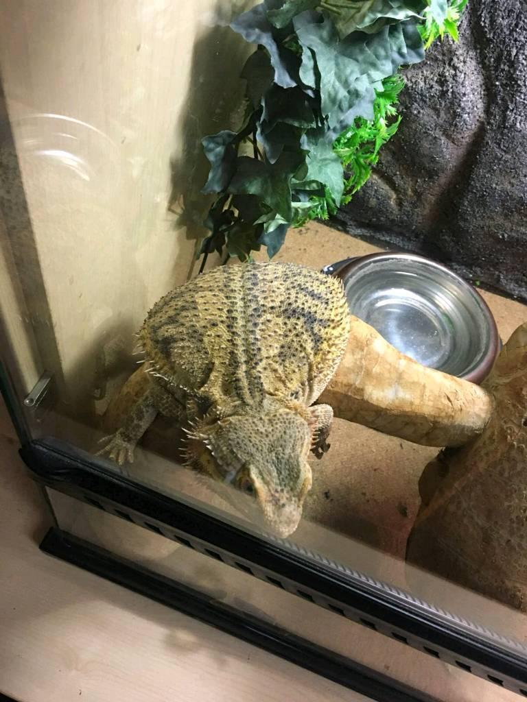 Bearded dragon reptile, with vivarium