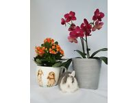 Blue eyed Pure Bred Netherland dwarf bunnies for sale