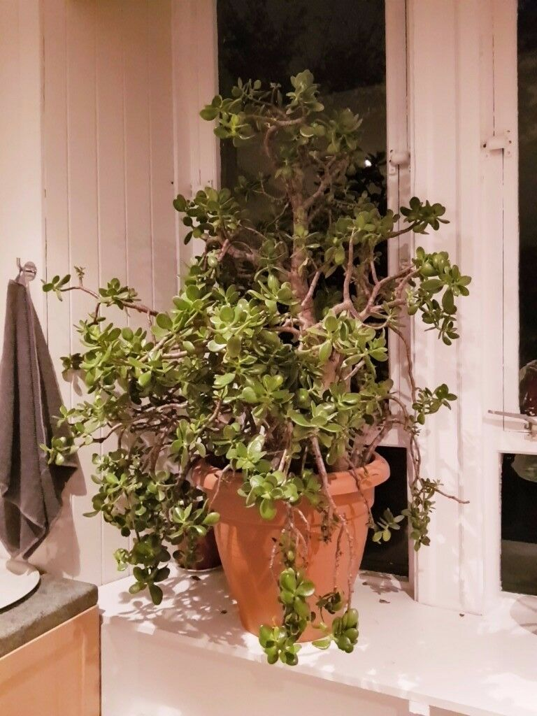 Giant Money tree for sale