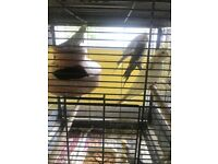 cockatiels for sale - adults and babies.