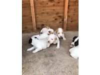 Cocker spaniel puppies for sale