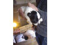 Jackapoo x lhasa apso puppies