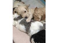 Cockapoo Puppies *Rare Colours*