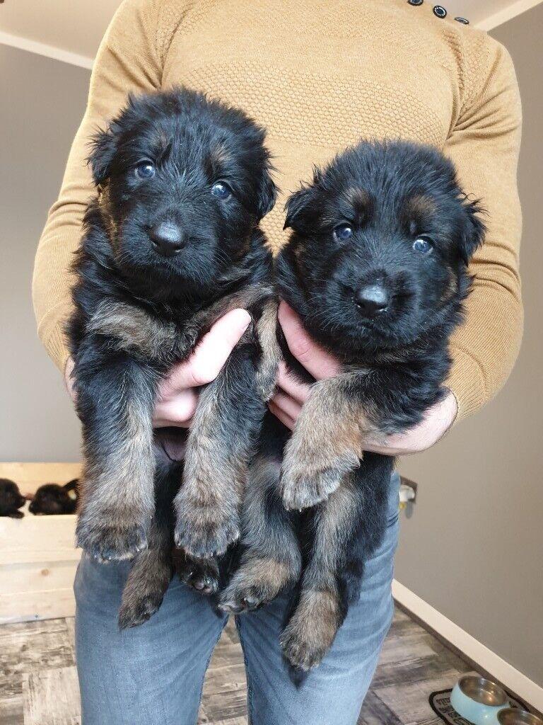 German Shepherd Long Hair Black And Tan Puppies In Blaydon On Tyne Tyne And Wear Gumtree