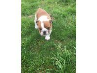 English bulldogs puppy boy for sale