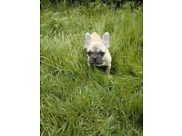 French Bulldog Puppy.Offers Accepted.
