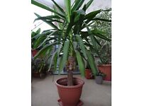 Yucca - Young Plant (1m 30 cm) tall NEEED GONE ASAP!!!!!!!!!!!!!!!!