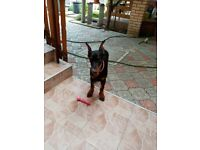 Dobermann girl puppy