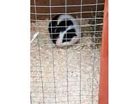 Beautiful male guinea pig