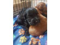 cocker spaniel puppys golden brown and black