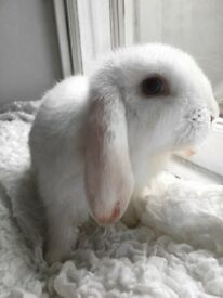 mini lop baby rabbits for sale