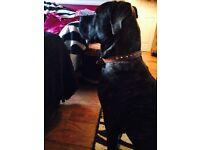 Loving mastiff pup