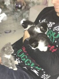 4 x kittens for sale